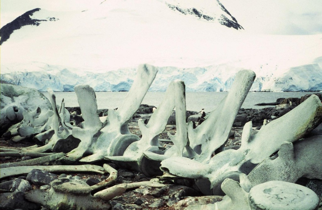 Whale skeleton at Port Lockroy, Wiencke Island, Antarctica. The bones were huge and the vertebra in the lower right quadrant high enough to be used as a seat.